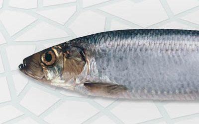 Frozen herring