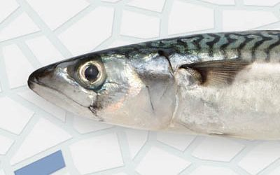 Frozen mackerel
